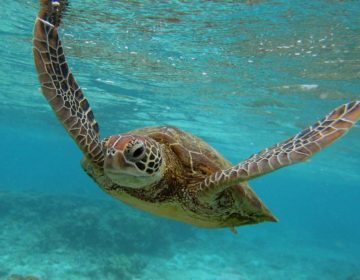 Turtles of the Maldives
