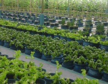 Hydroponics – The Future of Local Farming in the Maldives