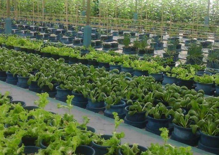 Hydroponics – The Future of Local Farming in the Maldives