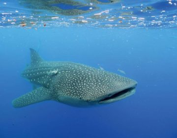 The Maldives Whale Shark Research Programme (MWSRP)